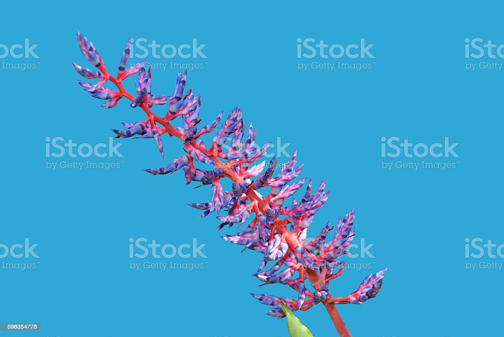 Aechmea Blue Tango Bromeliad flower royalty-free stock photo