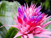 Aechmea ramosa (Silver vase bromeliad), Pineapple flowers
