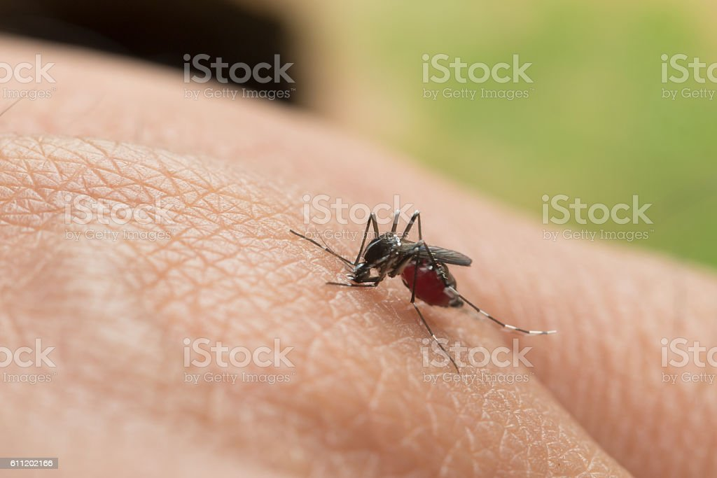 Aedes aegypti. Close up a Mosquito sucking human blood. stock photo