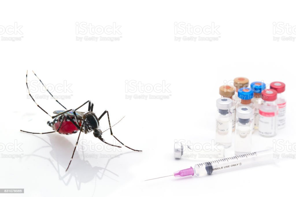 Aedes aegypti. Close up a Mosquito sucking human blood stock photo