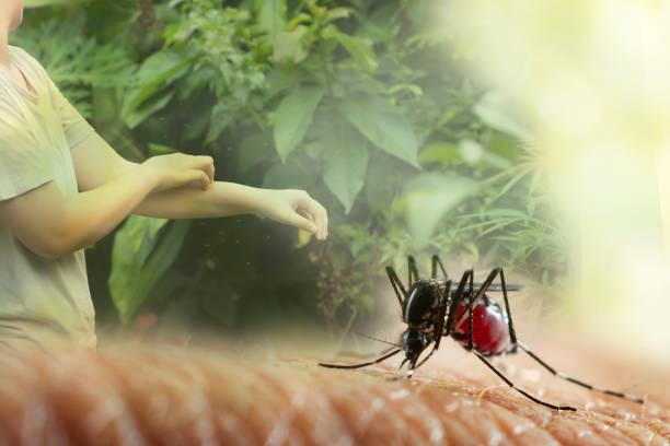 Aedes Aegypti. Nahaufnahme einer Mücke menschliches Blut saugen, – Foto