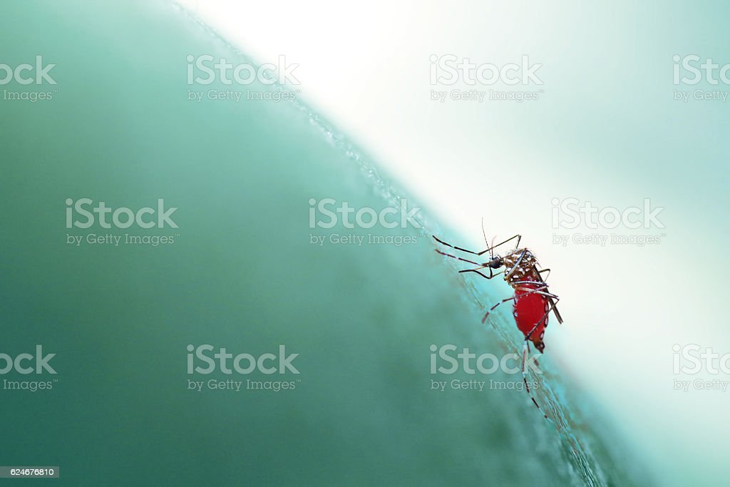 Aedes aegypti mosquito biting/sucking into human skin, soft focu stock photo