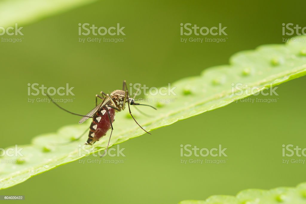 Aedes aegypti Mosquito. Close up a Mosquito Mosquito on leaf - foto de acervo