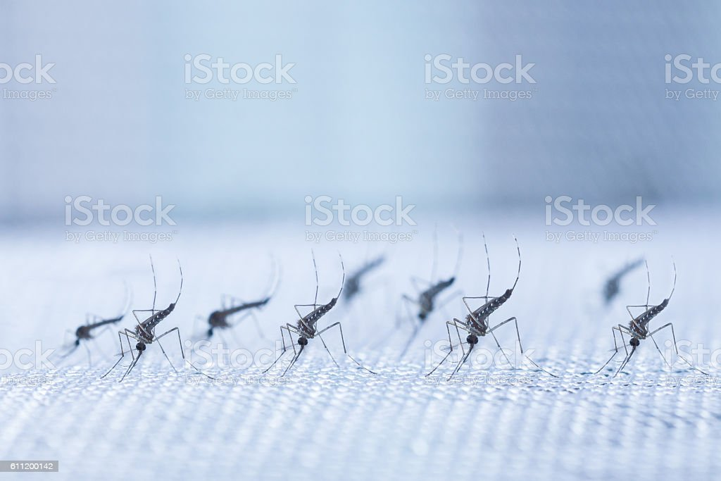 Aedes aegypti Mosquito. Close up a Mosquito stock photo