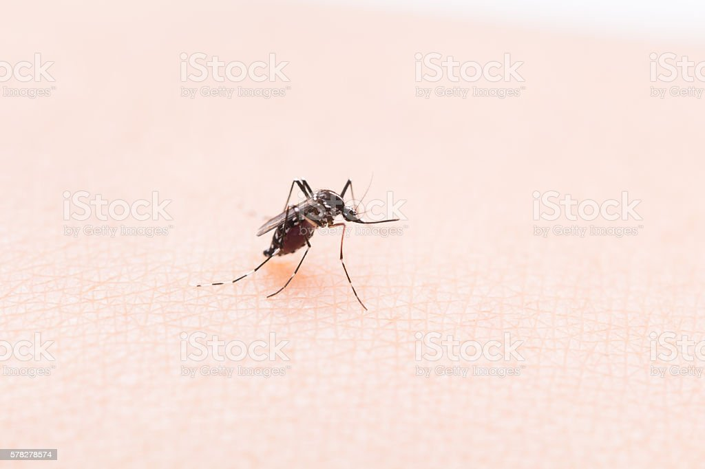 Aedes aegypti Mosquito. Close up a Mosquito sucking human blood, stock photo