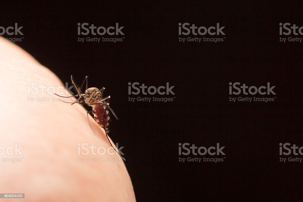 Aedes aegypti Mosquito. Close up a Mosquito sucking human blood – Foto