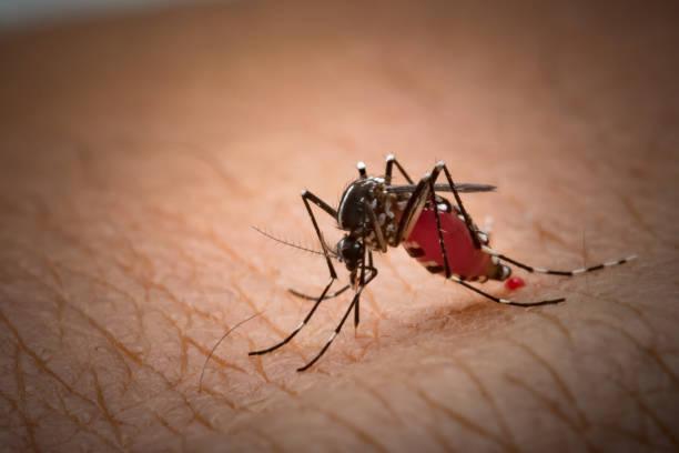 Aedes Aegypti Mücke. Nahaufnahme einer Mücke saugen menschliches Blut, Moskito vektorübertragene diseases,Chikungunya.Dengue Fieber. Rift-Valley-Fieber. Gelbfieber. Zika.Mosquito auf Haut – Foto
