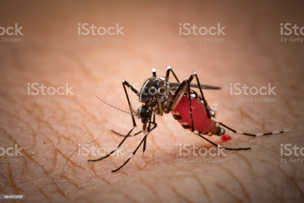 Aedes aegypti Mosquito. Close up a Mosquito sucking human blood,Mosquito Vector-borne diseases,Chikungunya.Dengue fever.Rift Valley fever.Yellow fever.Zika.Mosquito on skin stock photo