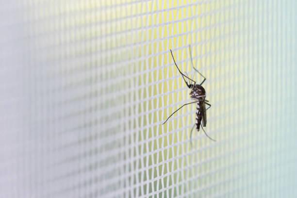 Aedes aegypti Mosquito auf weißem Mückendrahtnetz – Foto