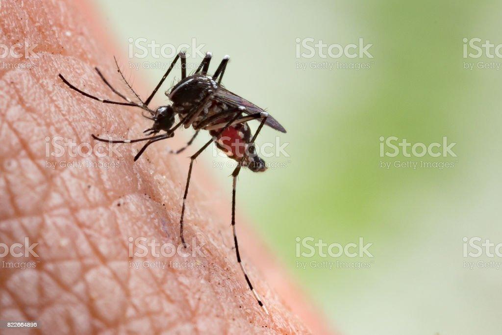 Aedes aegypti Mosquito stock photo