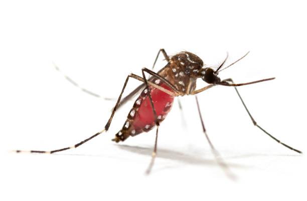 Aedes aegypti Mosquito. Super-Makro schließt ein Mückenstich auf, menschliches Blut auf weißem Hintergrund zu isolieren – Foto