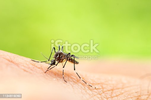 Aedes aegypti or yellow fever mosquito sucking blood on skin,Macro close up show markings on its legs and a marking in the form of a lyre on the upper surface of its thorax