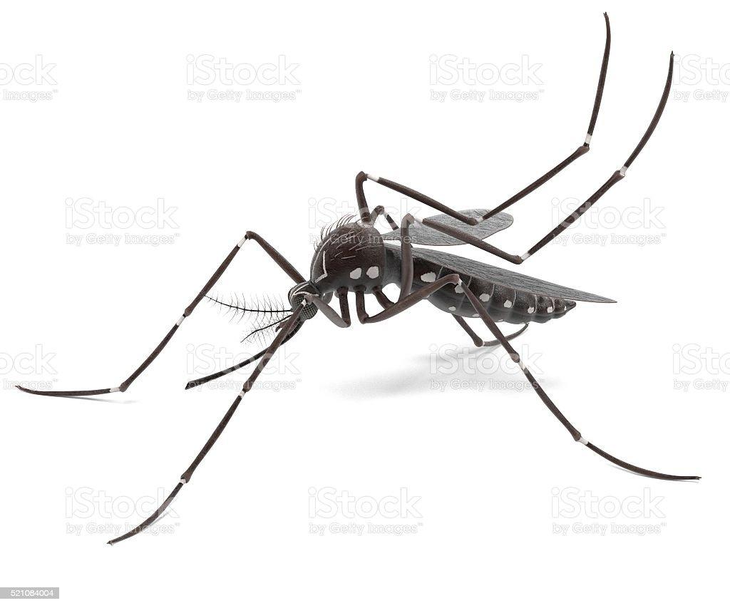 Aedes Aegypti stock photo