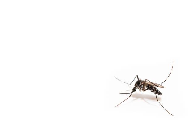Aedes albopictus Mosquito saugen Blut auf der Haut, Makro Nahaufnahme isolieren auf weißem Hintergrund – Foto