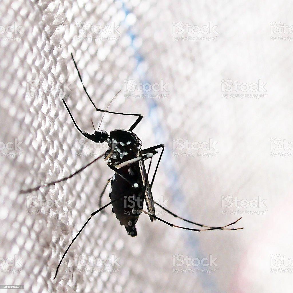Aedes albopictus (tiger mosquito) stock photo