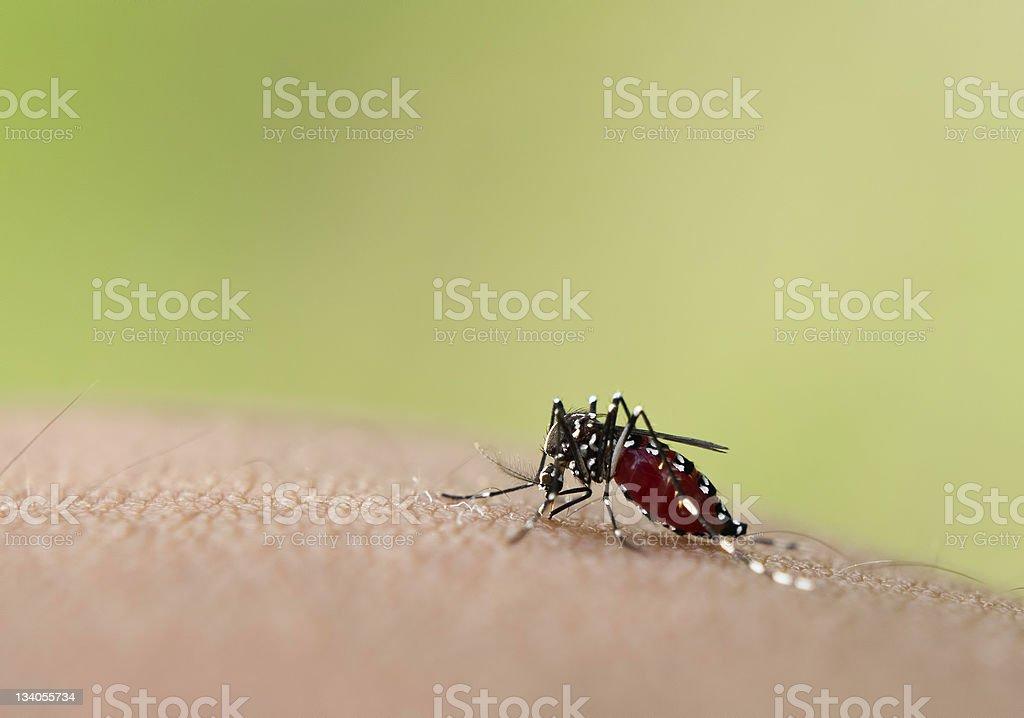 Aedes mosquito feeding on blood through the skin stock photo