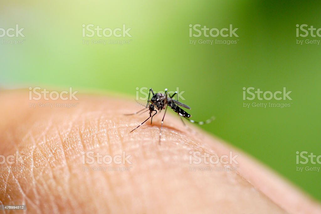 Aedes mosquito sucking blood stock photo