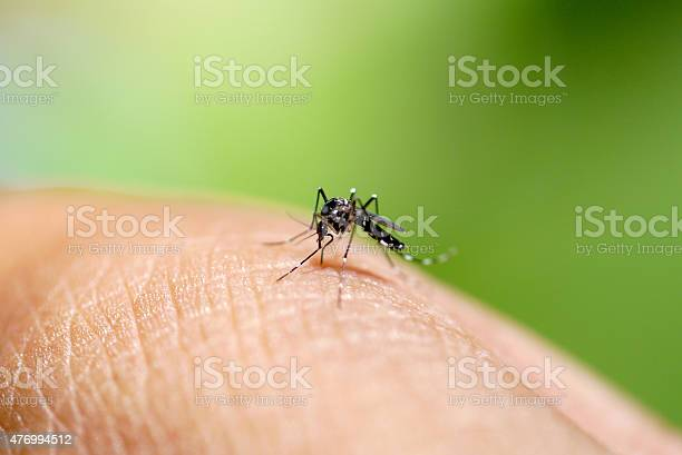 Aedes mosquito sucking blood Aedes mosquito sucking blood 2015 Stock Photo