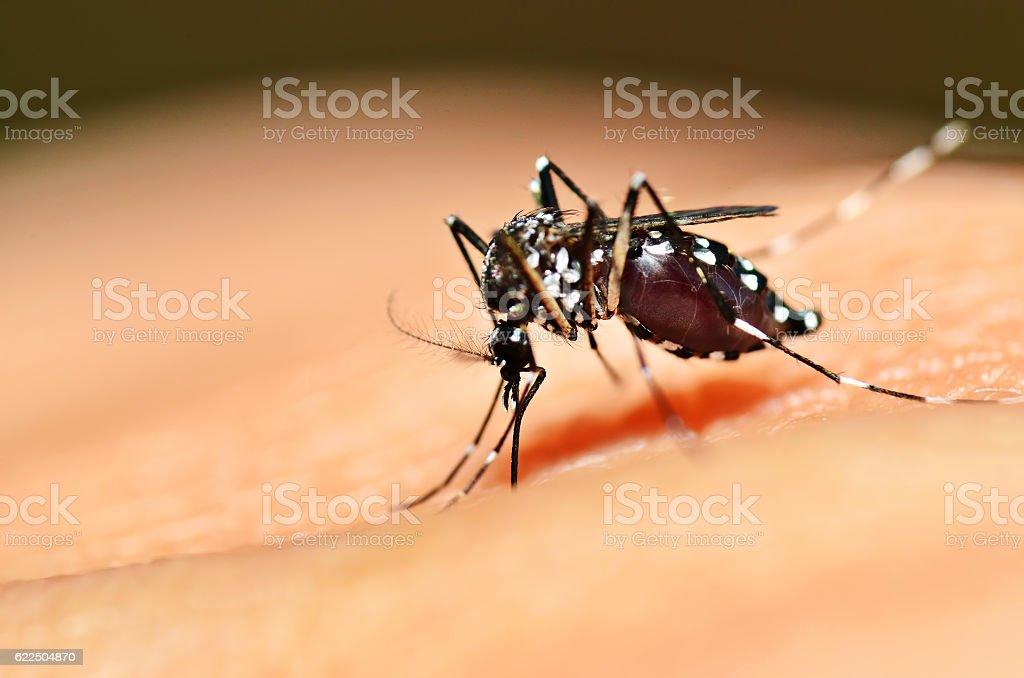Aedes mosquito sucking stock photo