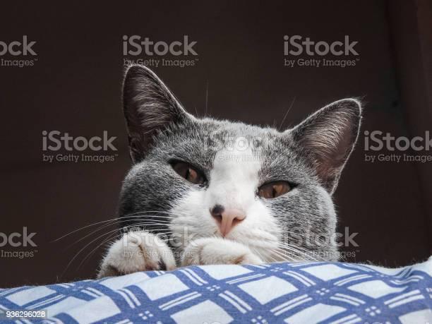 Aegean cat looking down picture id936296028?b=1&k=6&m=936296028&s=612x612&h=rh7 bvuwiynjrylehduoe2 nyai771iizopogfmahqc=