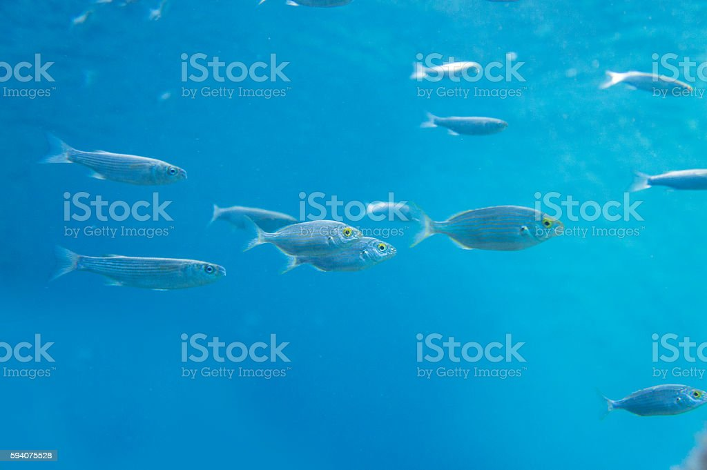 Aegean sea fish gray mullet and boops salpa, underwater stock photo