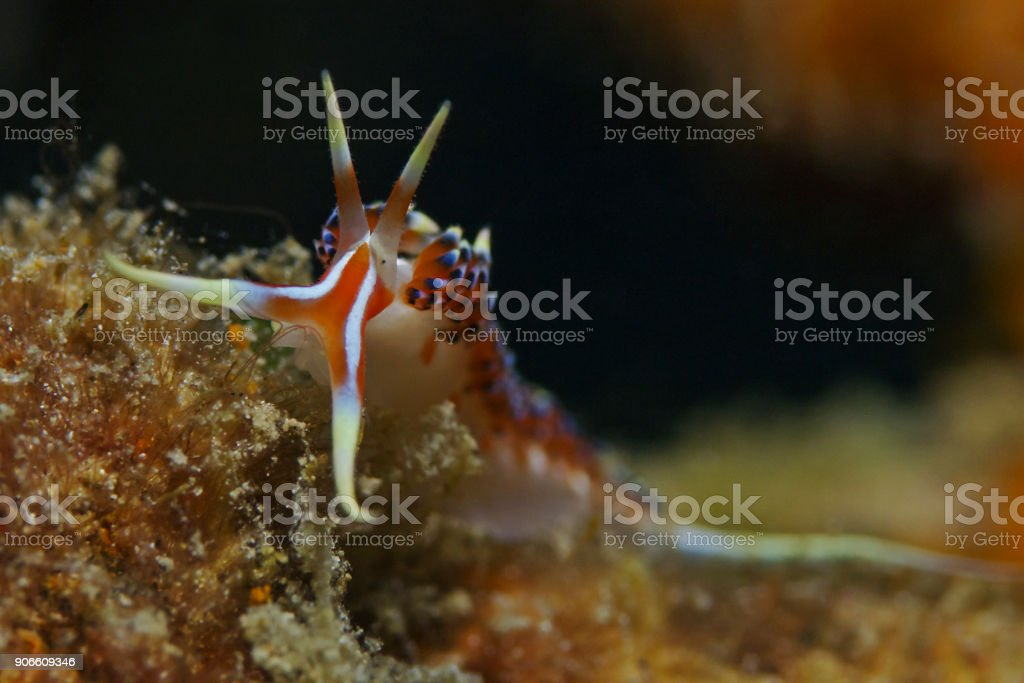 Aeolid nudibranch (Phidiana militaris) stock photo