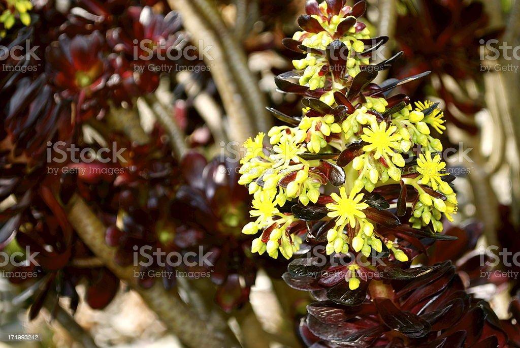 Aeonium arboreum in Flower royalty-free stock photo