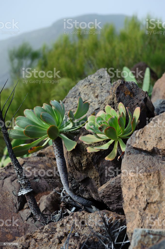Aeonium urbicum royalty-free stock photo