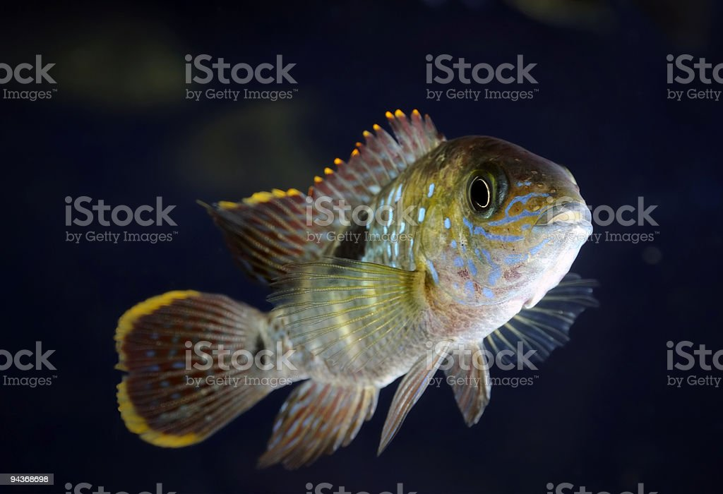Aequidens Rivulatus (Green Terror) royalty-free stock photo