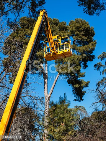 yellow  platform lift on top tress in the park to prune pine trees