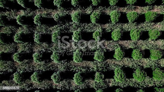 936410150istockphoto Aerial Above Large Legal Cannabis Sativa Outdoor Marijuana Field 586043470