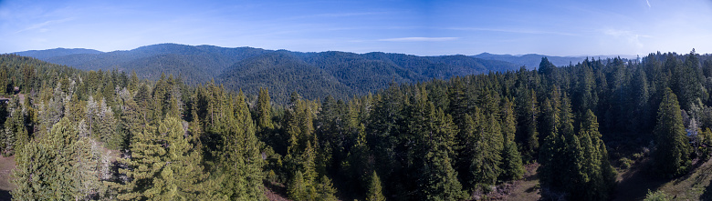 Panoramic of redwood forest.