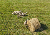 Aerial drone perspective view on sheep herd grazing in the meadow with hay bale
