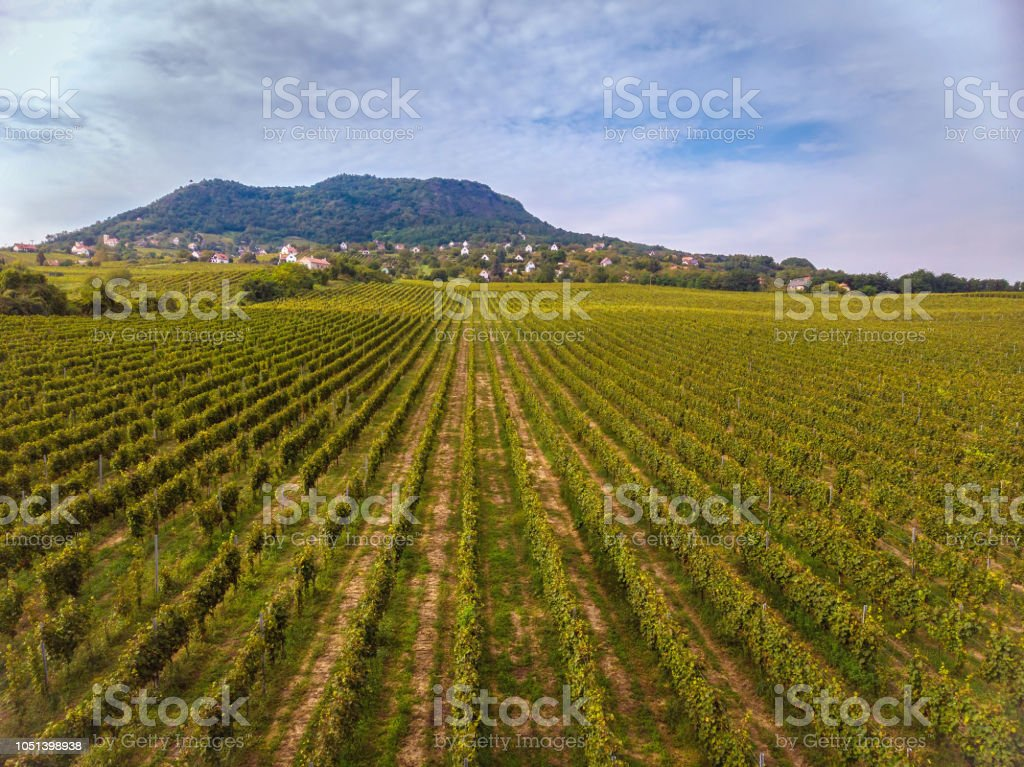 Aerial drone picture from a long grape rows in Hungary near the lake Balaton – zdjęcie