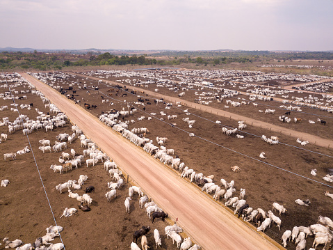 istock Aerial drone view of many oxen grazing on sunny summer day on feedlot cattle farm in Amazon, Para, Brazil. 1188901264