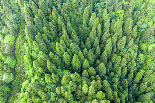 Aerial looking-down picture of bamboo forest