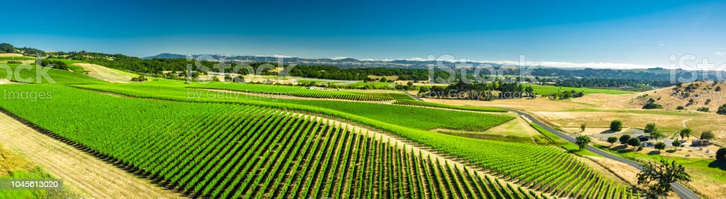 Aerial Panorama of Hillside Covered in Grapevines stock photo