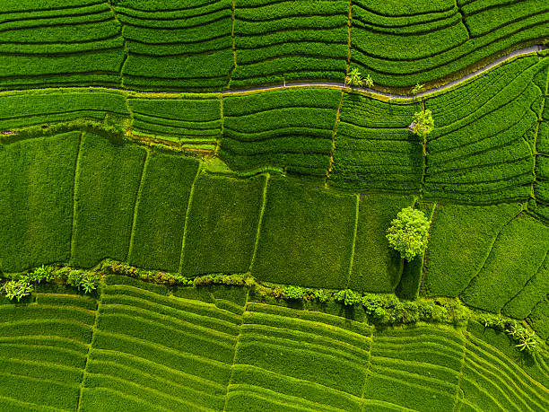 Aerial panorama of the green rice fields Aerial panorama of the green rice fields. Bali, Indonesia cultivated land stock pictures, royalty-free photos & images