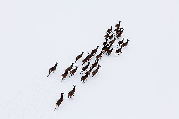 Aerial photo of a herd of deer running through snow stock photo