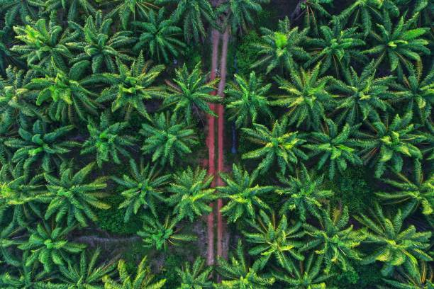 Aerial photo of palm trees on morning Aerial photo of palm trees on morning palm oil stock pictures, royalty-free photos & images