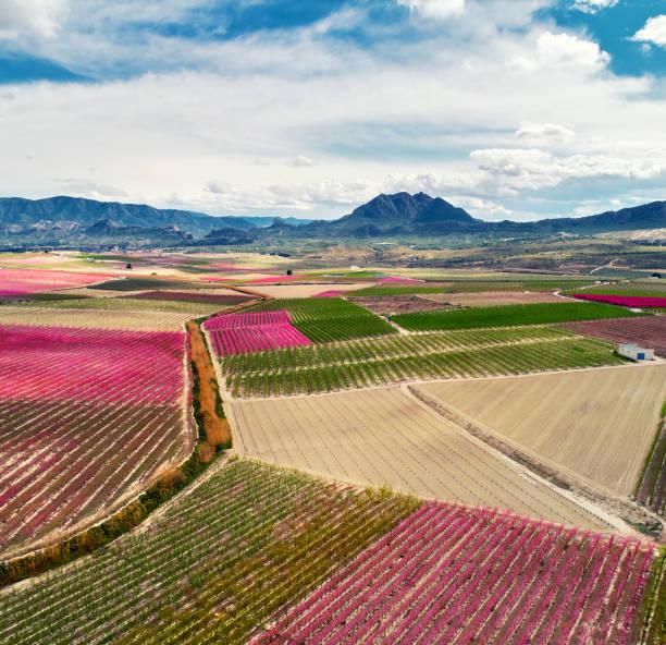 photographie aérienne d'une floraison des arbres fruitiers à cieza - paysage mois de mars photos et images de collection