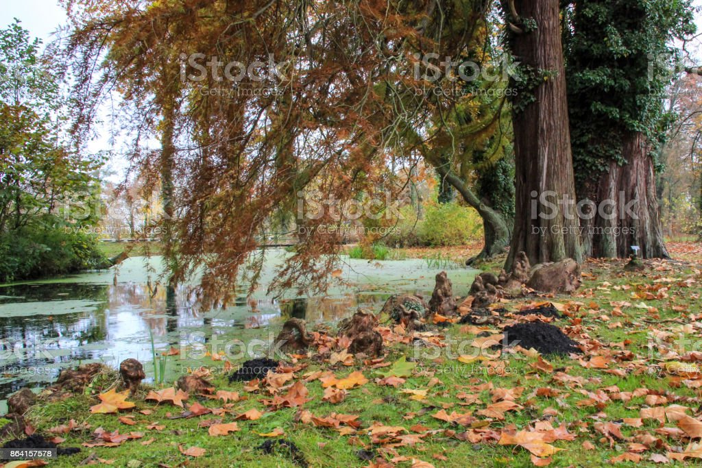 aerial roots on a lake in autumn royalty-free stock photo