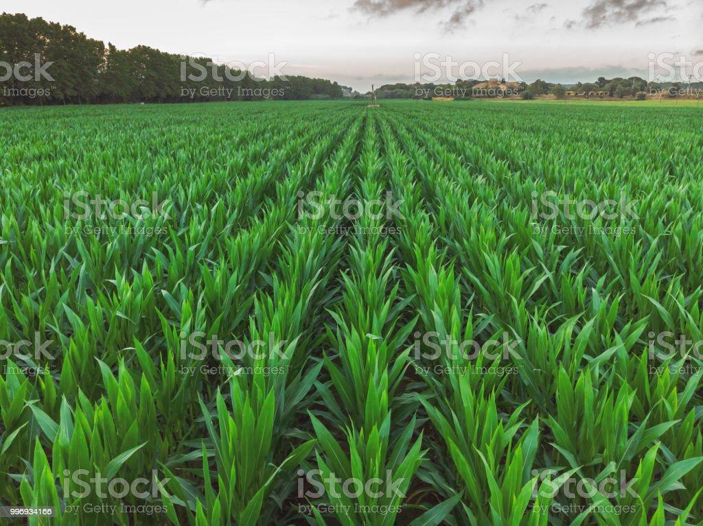 Pousse aérienne d'une rangées de maïs en Espagne photo libre de droits