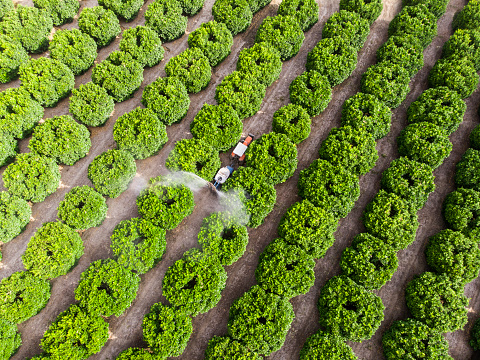 Aerial shot of a tractor spraying insecticide or fungicide on orange trees in a large garden