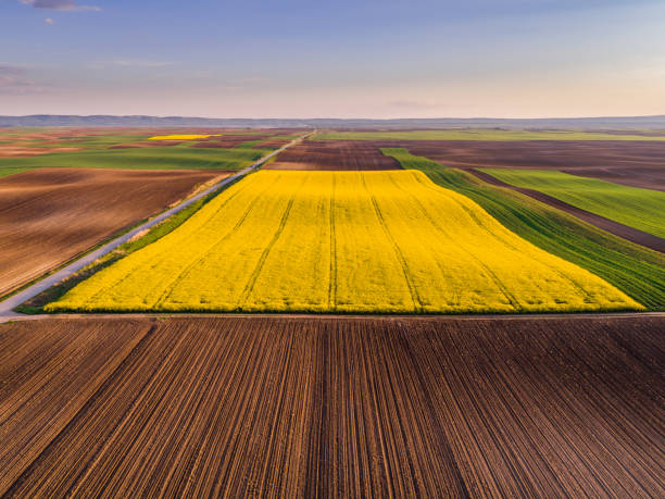 Aerial shot of canola, rape seed from a drone. Beautiful agricultural landscape. Aerial shot of canola, rape seed from a drone. Beautiful agricultural landscape. canola stock pictures, royalty-free photos & images