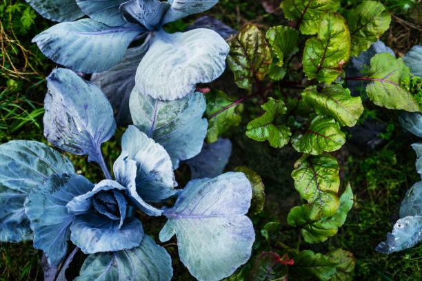 luftaufnahme von bio-gemüse auf bauernhof-grundstück - mangoldgemüse stock-fotos und bilder