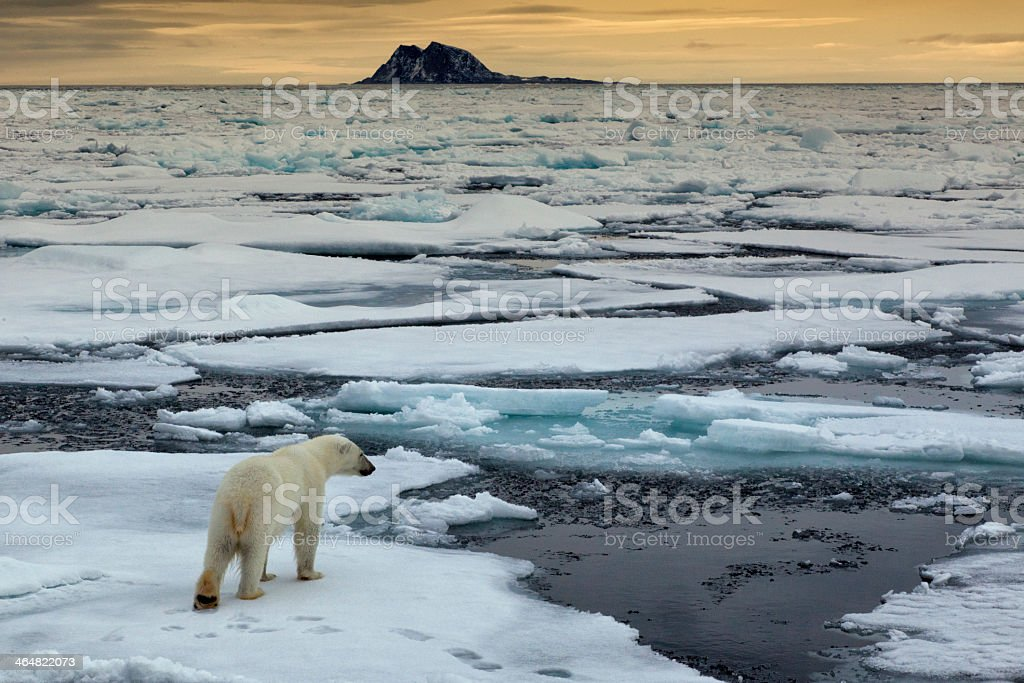 Aerial shot of the Eisbaer, Thalarctos Maritimus polar bear stock photo