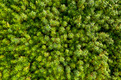 Aerial top view of a beautiful CBD hemp field. Medicinal and recreational marijuana plants cultivation.