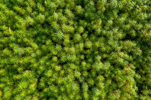 antenn uppifrån utsikt över en vacker cbd hampa fält. läkemedel och rekreation marijuana växter odling. - carpel bildbanksfoton och bilder