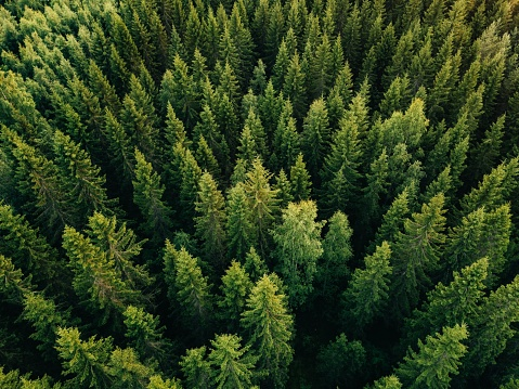 istock Aerial top view of summer green trees in forest in rural Finland. 923623146